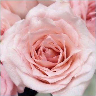 Всичко за розов кварц