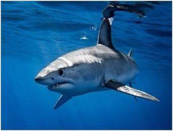 Аквариумни акули: Характеристики, видове и отглеждане