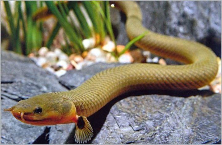 Аквариумска змия риба: сортове, избор, грижа, репродукция