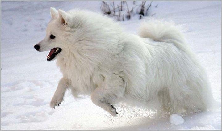 American Eskimo Spitz: характеристики и тънкости на съдържание