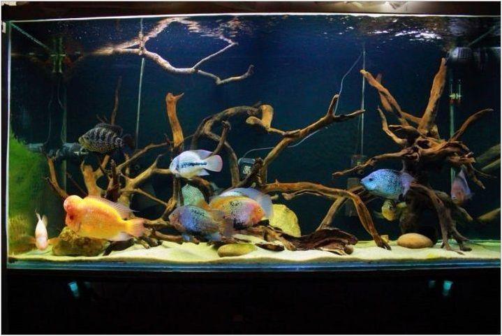 Американски цихлиди: описание и видове, съдържание в аквариума