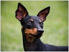 Английски играчка териер: порода Описание и грижа за кучета