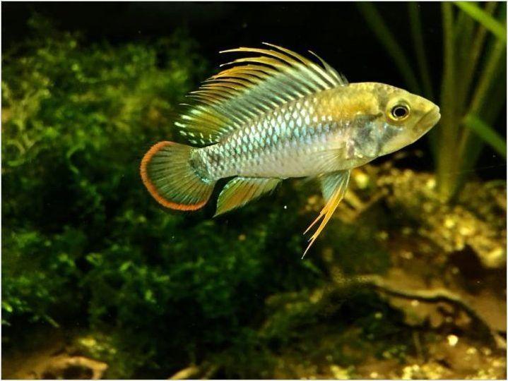 Апистрограм: описание и видове, съдържание и размножаване