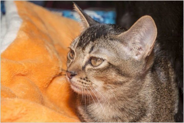 Азиатки Табби: Описание на правилата за порода на котката и съдържанието