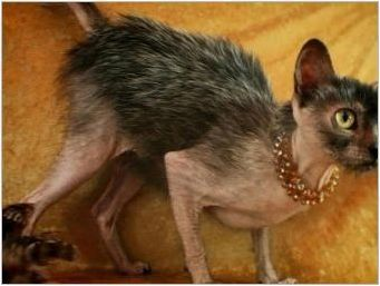 Bald Cats: характеристики, видове, правила