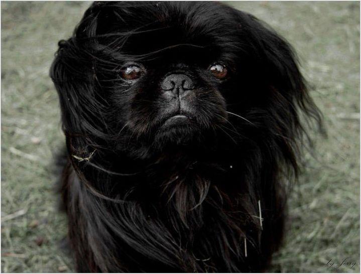Black Pekingese: Характеристики на цвета и грижата