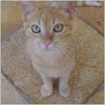 Бразилски късочен котка: описание на породата и характеристиките на съдържанието