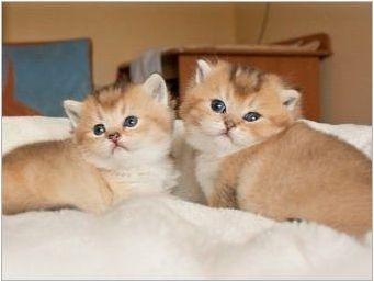 Британски Златни котки: цветни функции и описание на скалите