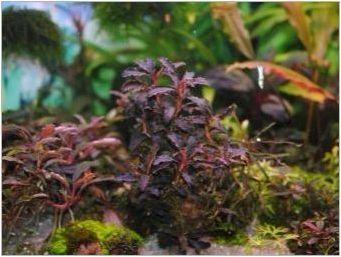 Букафаландра: разновидности, съдържание в аквариума и грижи