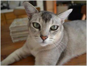 Burmilla: Характеристики на котки, условия за задържане и размножаване