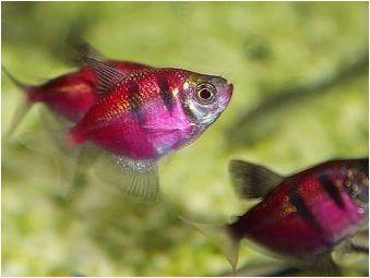 Caramel's Ternation: Съдържание на аквариум и грижа за него