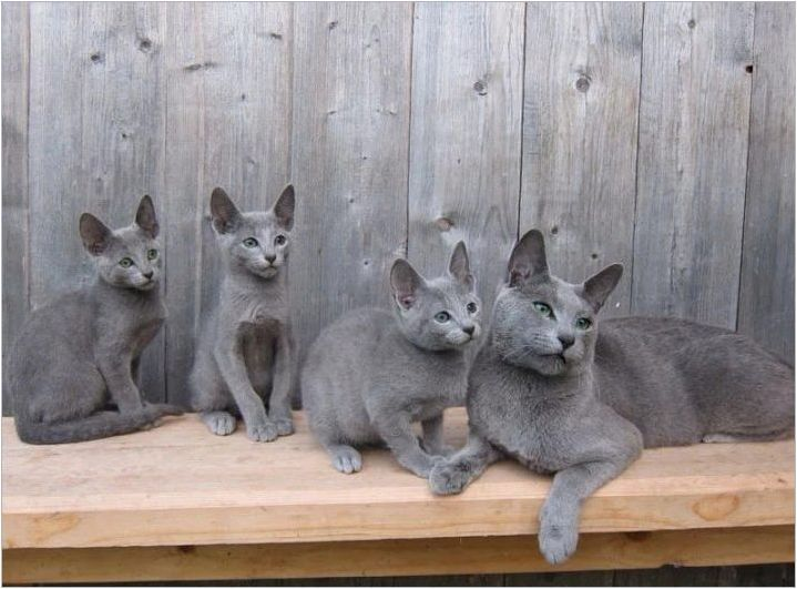 CAT CORAT: Произход, функция, грижа