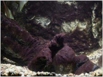 Черна брада в аквариума: какво е, защо се появява и как да се отървете от него?