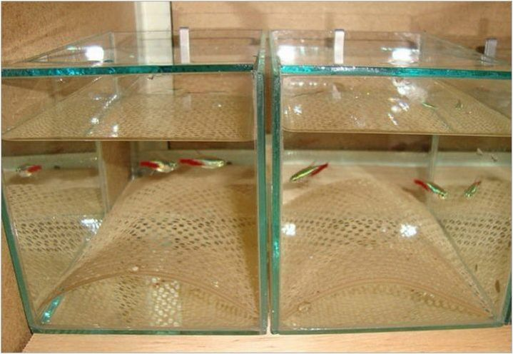 Червен неонов: Описание на рибата, съдържание и разреждане