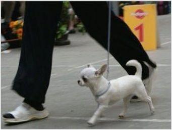 Chihuahua обучение: правила и овладяване на основни екипи