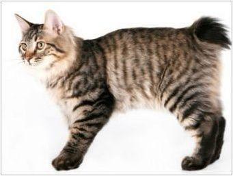 Chipped cats: популярни породи и правила за тяхното съдържание