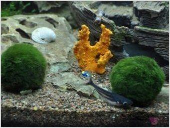Чуждестранна камара: съдържание в аквариума и репродукцията