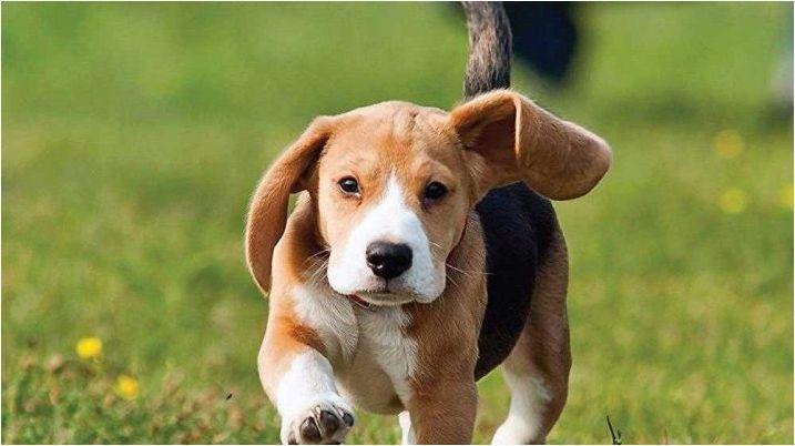 Цичек опции за кучета-момчета от малки породи