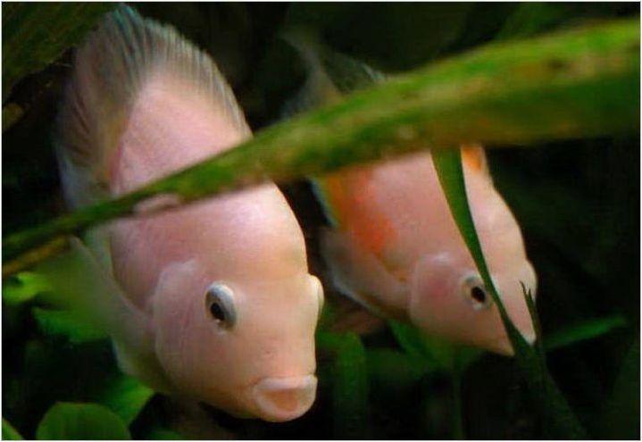 Flamingo Fish: описание, грижи, размножаване и съвместимост