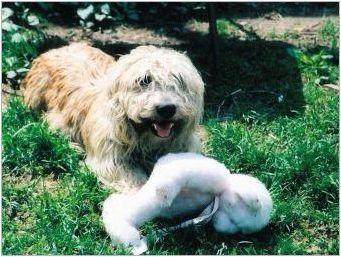 Глелен на Imaal териер: описание на ирландската порода и грижа за кучетата