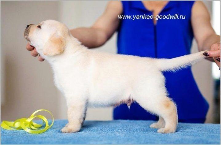 Характеристики и грижи за кученцата на Лабрадор на възраст 1 месец