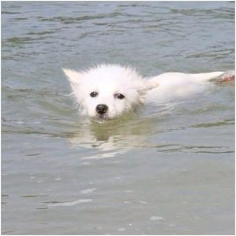 Характеристики на кучета Порода Волпино Италиански