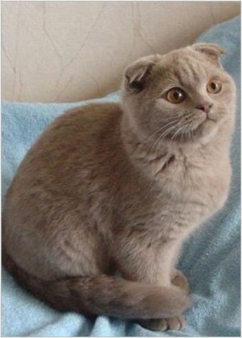Характеристики на лилавите шотландски сгъваеми котки