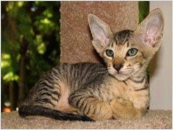 Хипоалергични котки и котки: породи, подбор и характеристики на съдържанието