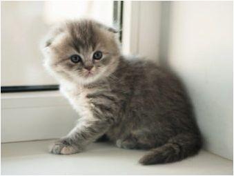 Изберете храна за шотландски сгъваеми котки