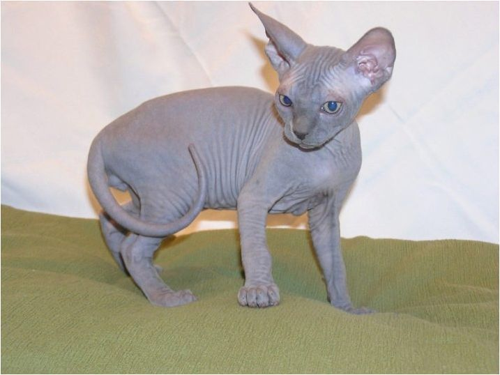 Изберете име за котка сфинкс