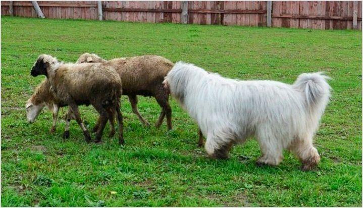 Южна руска овчарка: стандарти за порода и съдържание