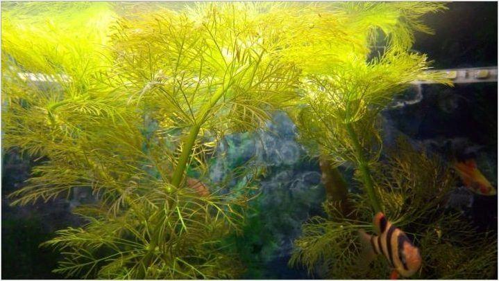 Кабабуба: Характеристики на аквариума, съдържание и размножаване