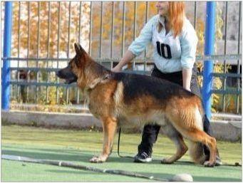 Как да изберем германското овчарско кученце?