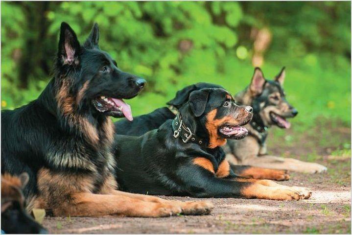 Как да изберем псевдоним за кучета от големи породи?