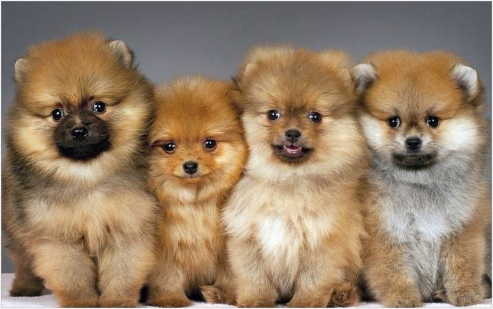 Как да изрежете Pomeranian Spitz?
