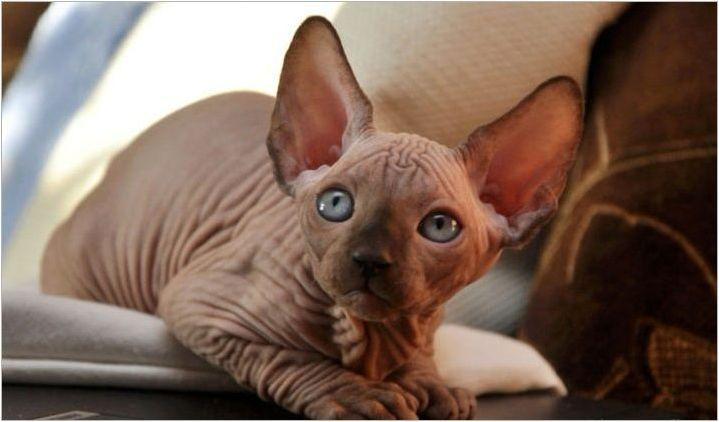 Как да назовем котешка порода Сфинкс?