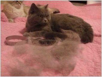Как да се грижим за британски коте и възрастни котки?