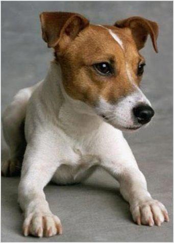 Каква е разликата между Parson Russell Terrier от Джак Ръсел Териер?