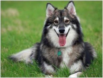 Какви породи кучета са като хъски?