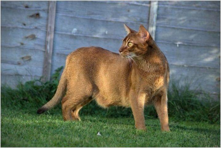 Какво и как да се хранят абисински котки и котки?
