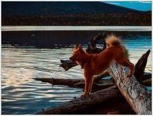 Karelian-finnish като: порода описание и отглеждане