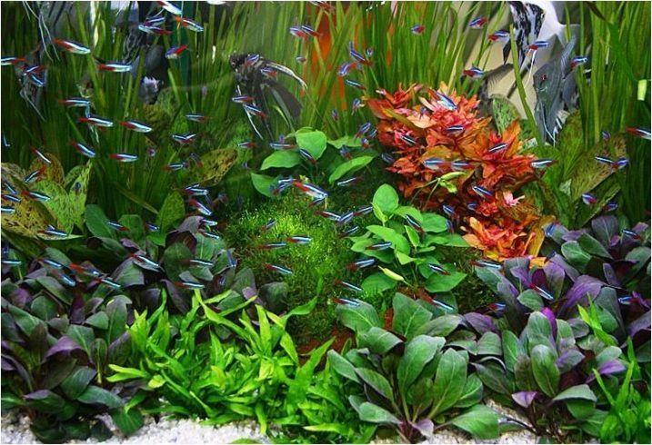 Който се приближава в аквариумната риба неон?