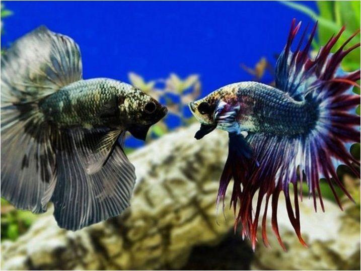 Колко години риболов на петелска риба и как да се разшири съществуването си?
