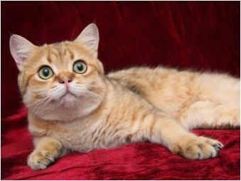 Колко години живеят британски котки и котки?