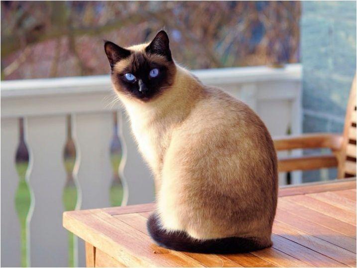 Колко сиамски котки живеят и какво зависи?