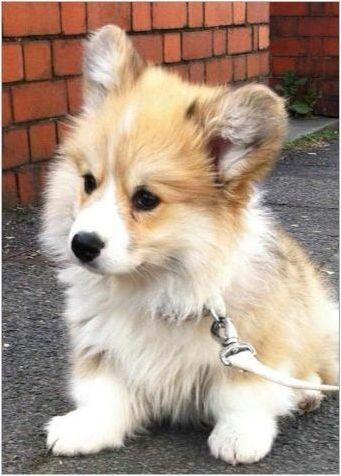 Корги Флафи: Характеристики на съдържанието на ген и кученца