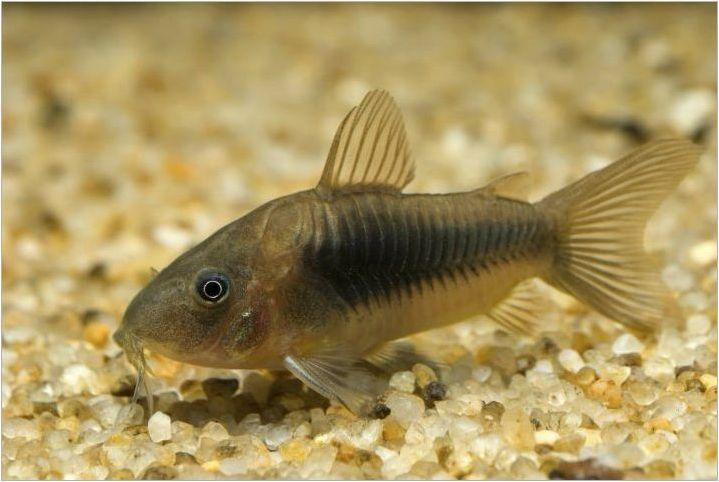 Коридори: Видове, съдържание, хранене и размножаване