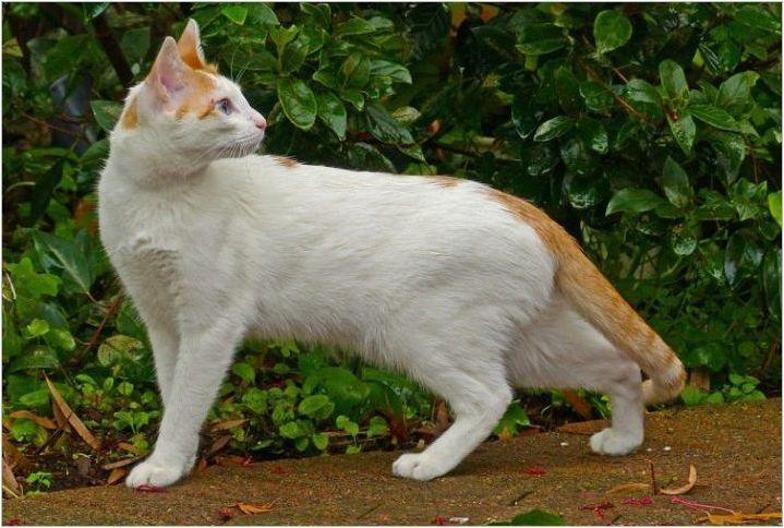 Котки на породата Арабски Мау: описание и характеристики на грижата