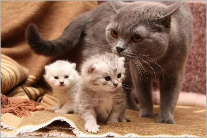 Котки на породата Метис: описание и характеристики на грижата