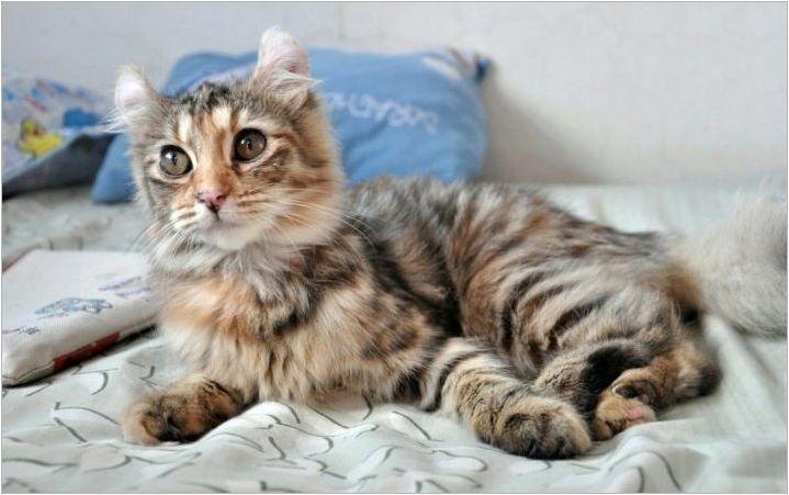 Котките породи американски kerl: правила за хранене и съдържание